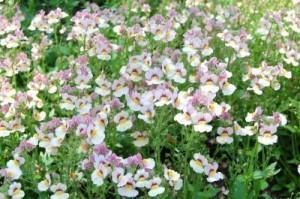 Nemesia Plant