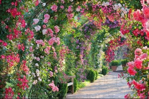 Climber Rose varieties
