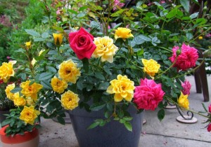 Minature Rose varieties