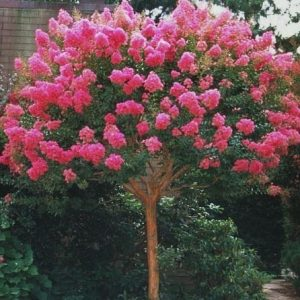 Lagerstroemia-indica-Bergerac-Crepe-Myrtle