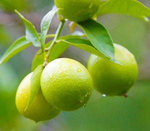 Limes_websize