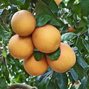grapefruit_tree_ffp-300x300